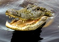 Reincarnation Past Life ResearchImage of a Crocodile
